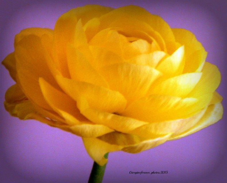 A Single Yellow Flower