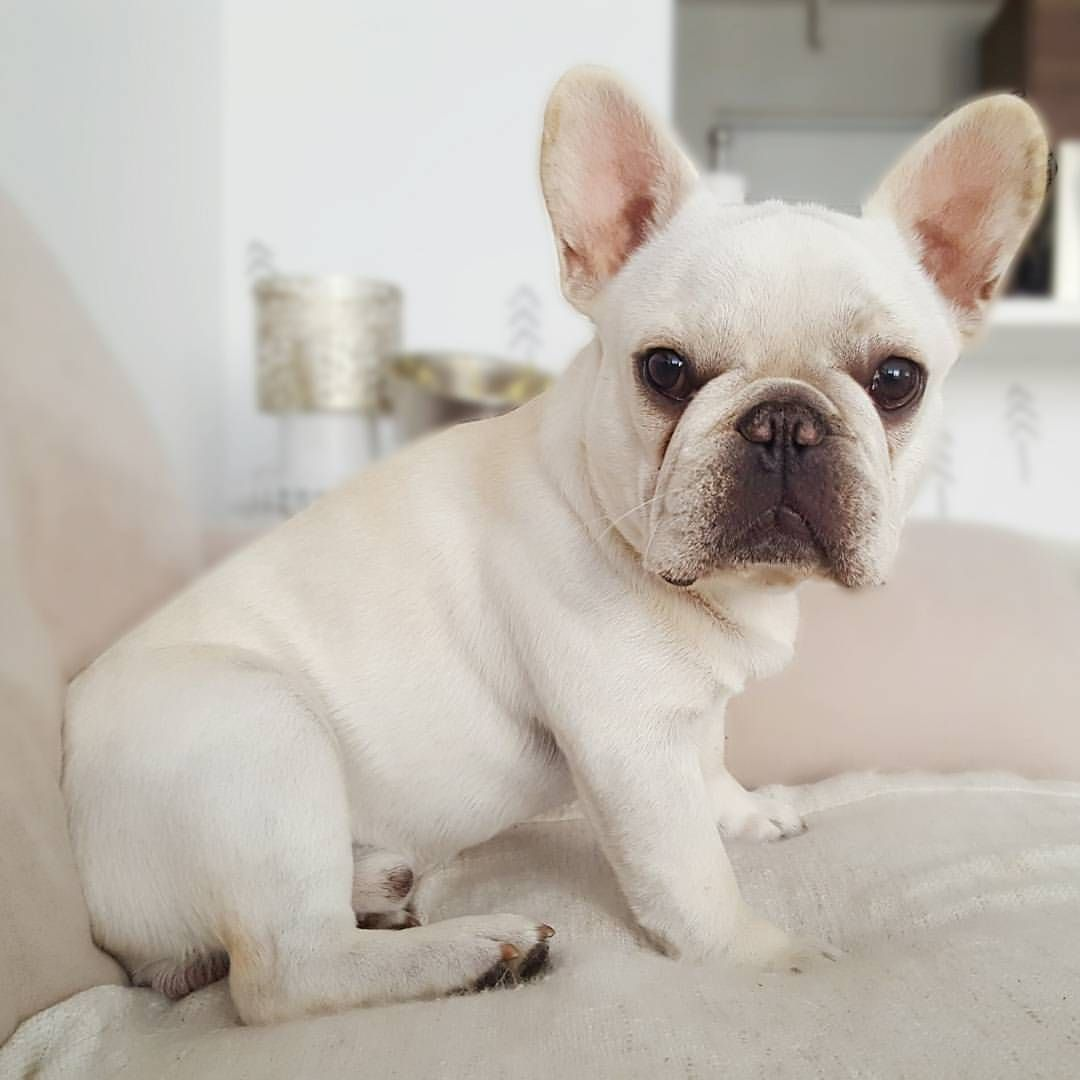 Are You One Of The Pug Lovers Or French Bulldog Lovers If You Do Then Our Online Store Is 100 Cute French Bulldog French Bulldog Puppies French Bulldog