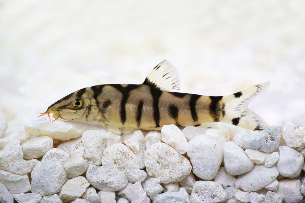 Learn How To Care For A Yoyo Loach Pakisani Loach From Feeding To Breeding You Will Find All Of The Information That You Aquarium Fish Fish Tank Angel Fish