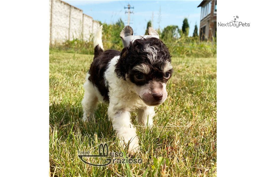 Powderpuff Seven Male Chinese Crested For Sale In 2020 Chinese Crested Puppy List Chinese Crested Puppy