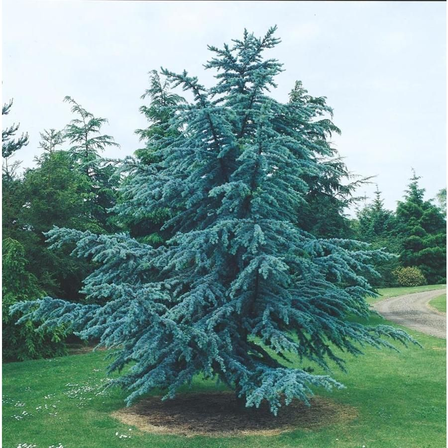 7.15Gallon Blue Atlas Cedar Feature Tree In Pot (With