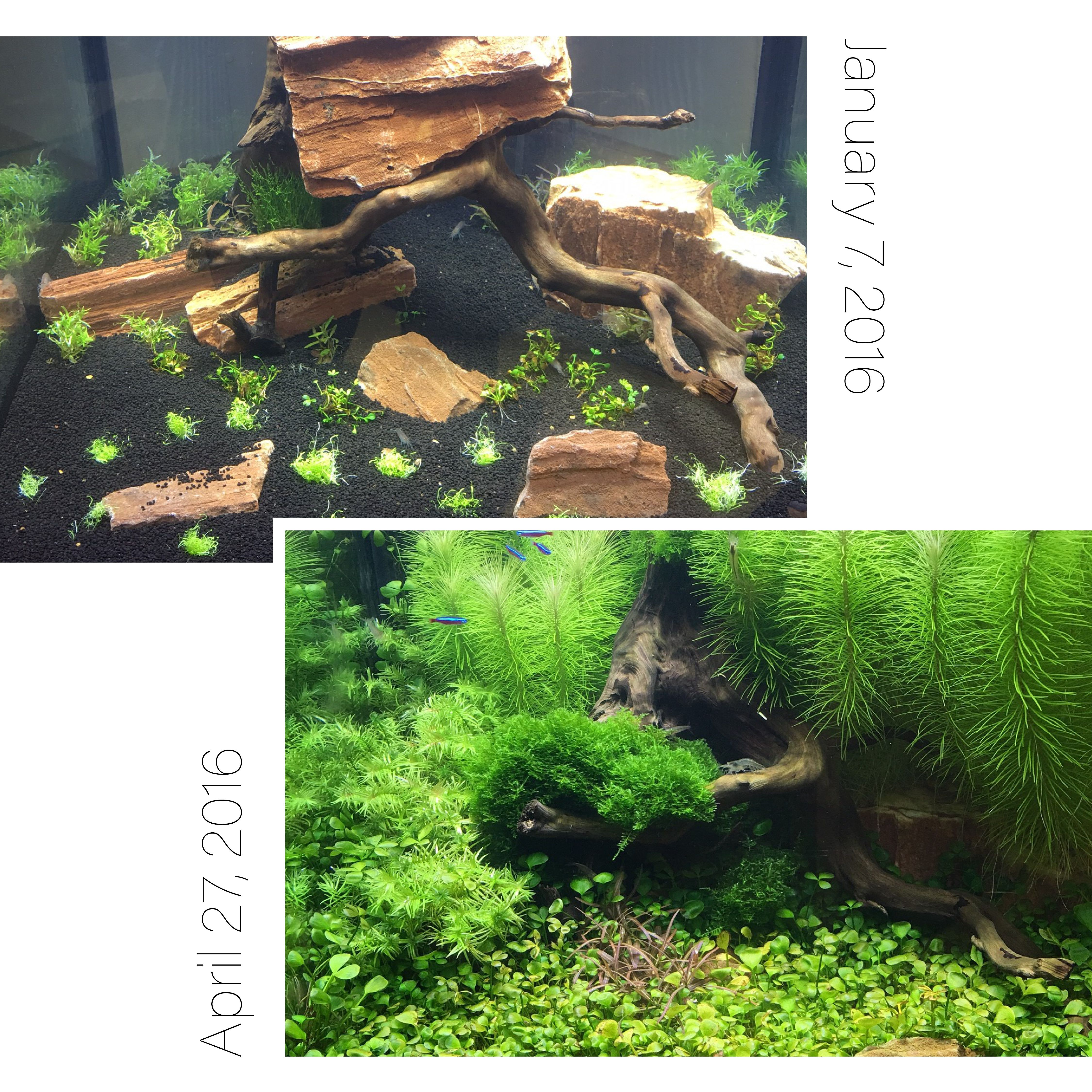 We recently started carrying Tropica Tissue Culture Plants and set up a tank in our front office. We've had fantastic growth in just over 3 months.
