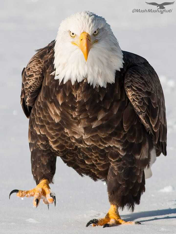 American Bald Eagle...not as graceful on land as he is in ...