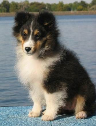 Shelties are Princesses:) this looks just like my Ellie when she was a baby <3