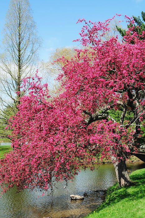 Cherry Blossoms Japanese Cherry Tree Spring Blooming Trees Cherry Blossom Japan