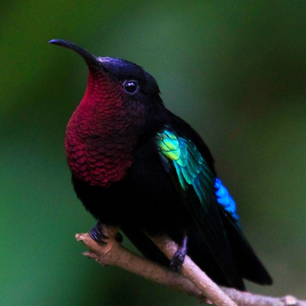 purple throated carib - Habitat: breeds on Antigua, Dominica, Guadeloupe, Martinique, Montserrat, Saba, Saint Kitts and Nevis, Saint Lucia, Saint Vincent and Sint Eustatius. It has occurred as a vagrant in Barbados, Barbuda, Grenada and the Virgin Islands.