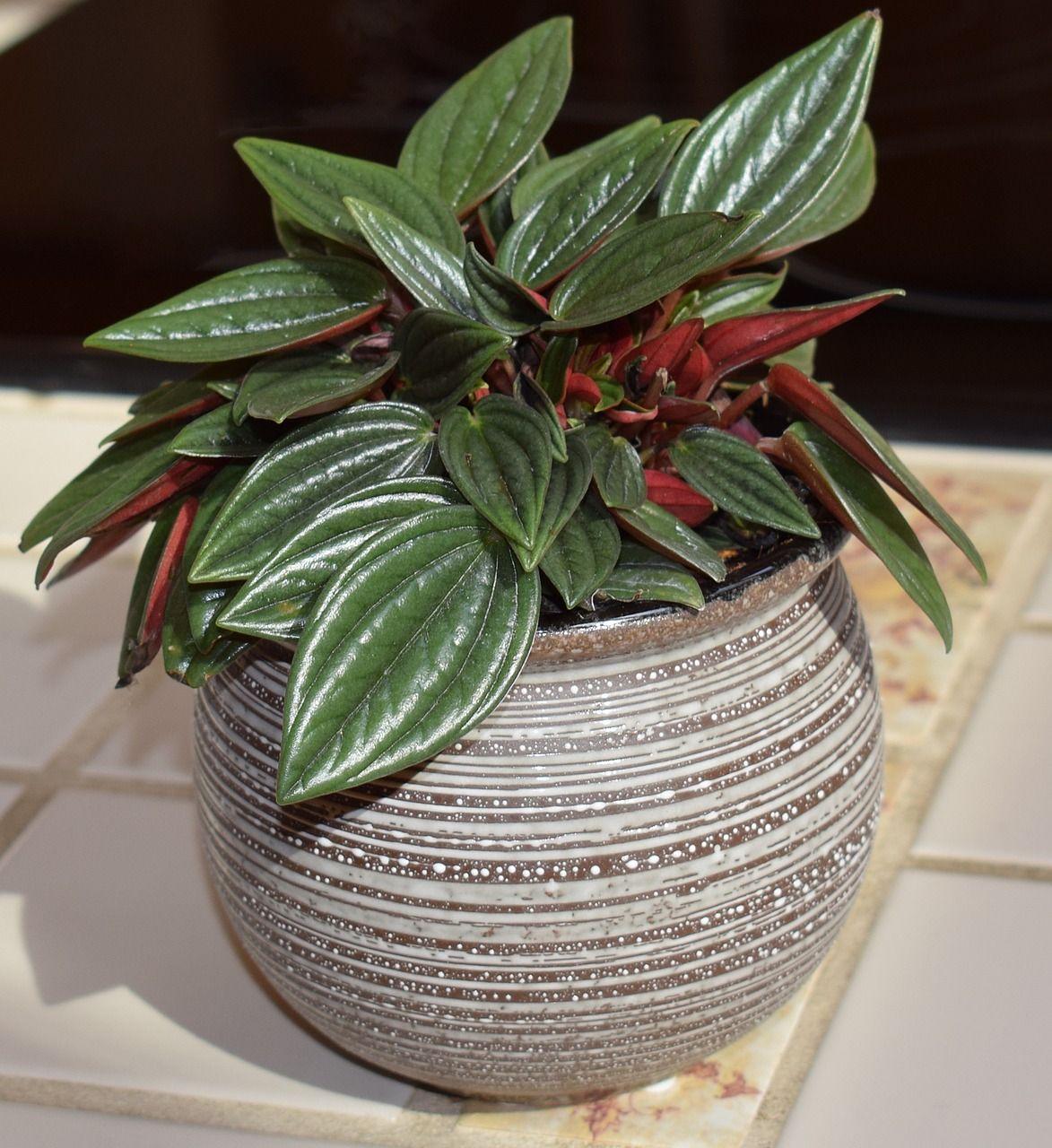 Peperomia Caperata Rosso Peperomia Peperomia Plant Plant Care