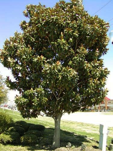 Little Gem Little Gem Magnolias Little Gem Magnolia Tree