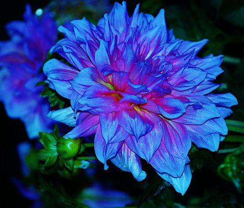 Blue Dahlia A True Dahlia Dahlia Flower Pictures Dahlia Flower Blue Dahlia