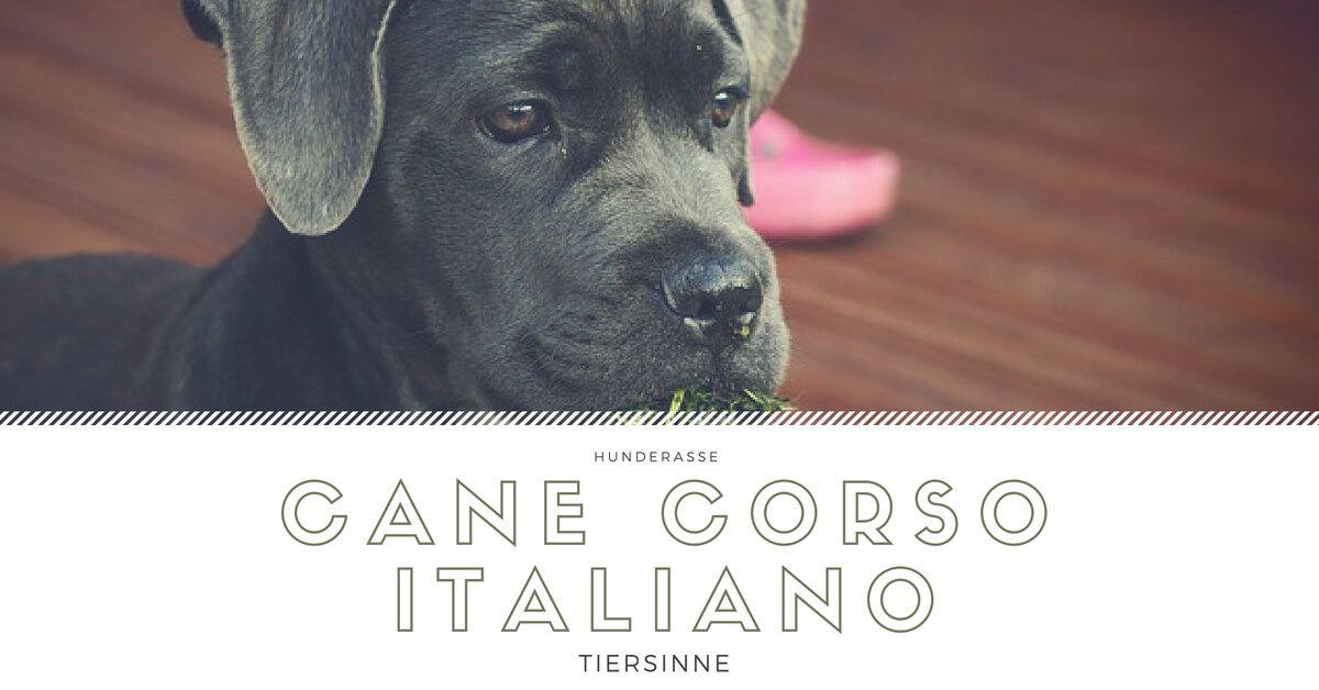 Cane Corso Italiano Wesen Charakter Erziehung Cane Corso