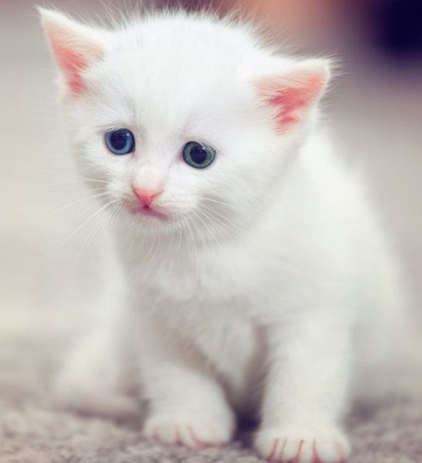 For Sale Cats Burmese Cat Cute Pure Snow White Burmese Kittens For