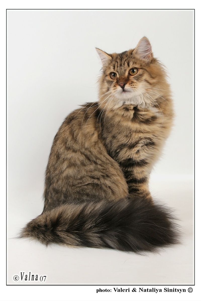 Siberian Cat. They're hypoallergenic. Like, forreal