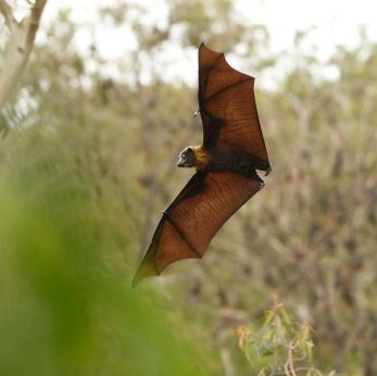 Bats Are A Common Sighting In The Forest Of Dean With Pipistrelle Bats Bat Bats In Attic