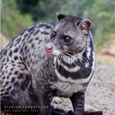 Malay Civet Viverra Tangalunga Unusual Animals Weird Animals