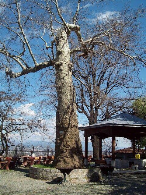 Platanus orientalis Bursa/Çekirge