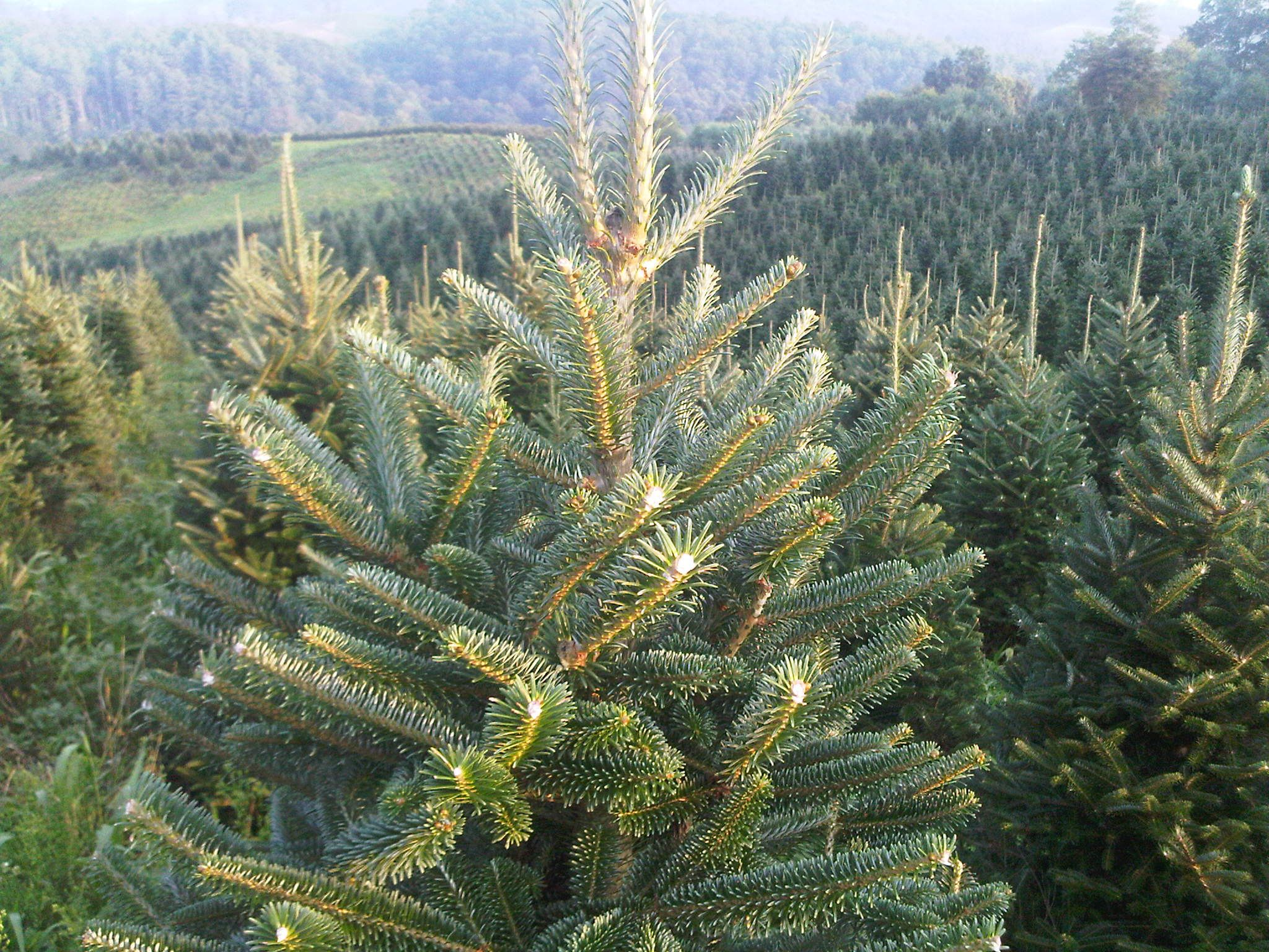 BL Christmas Trees; Christmas Trees Grower and Wholesaler, Mail ...