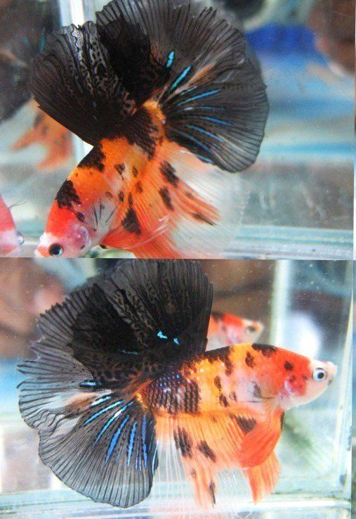 Live betta fish hm koi orange black white blue sun sultan for Blue and orange koi fish