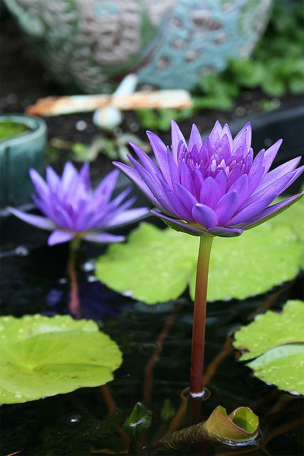 Water lilies are filling out!
