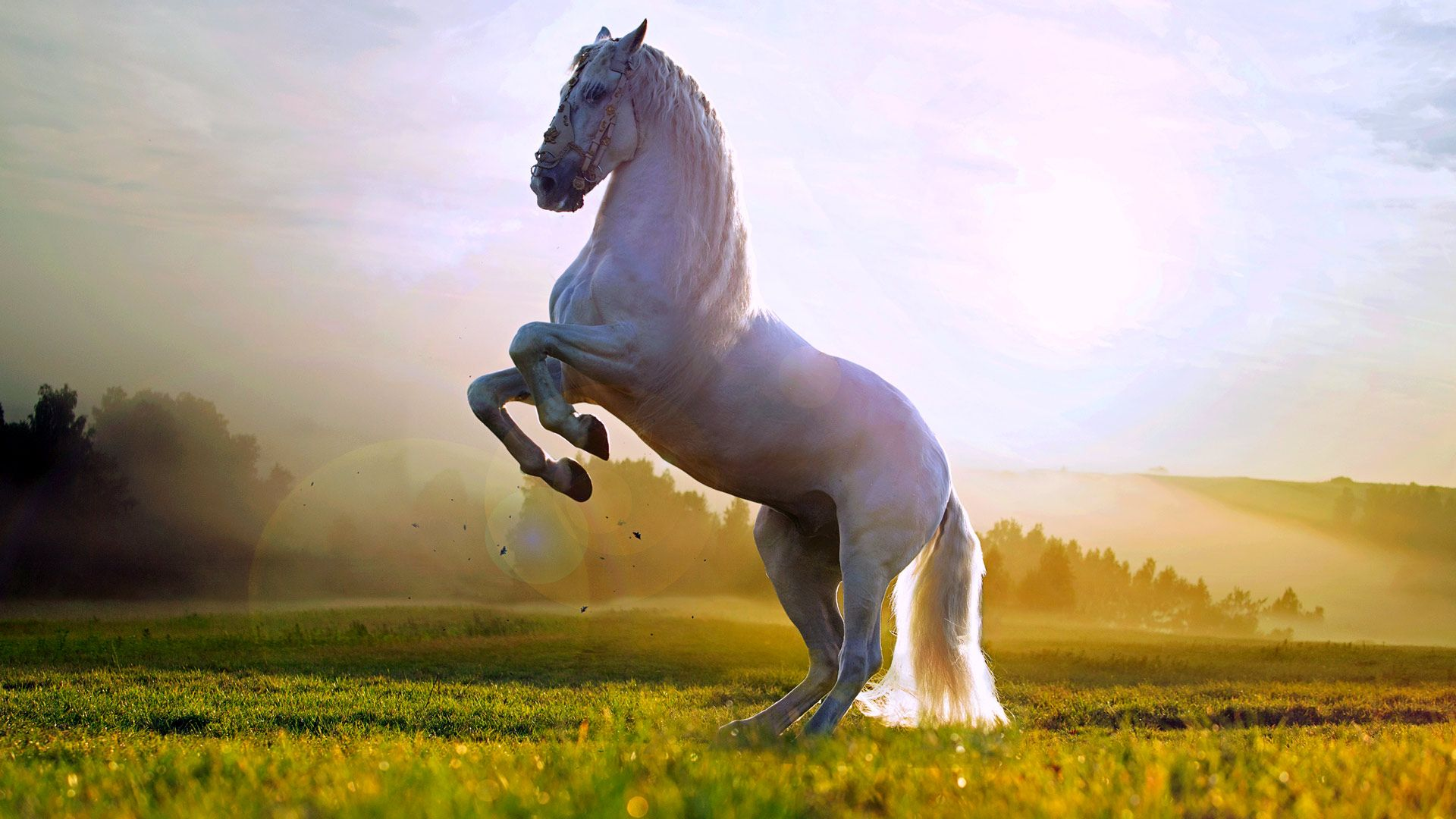 Beautiful White Horse Standing Up Wallpaper Hd 1080p For Desktop Horse Wallpaper Horses Beautiful Horses