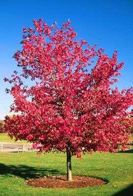 Red Maple Incredible fall color is what people want Look for