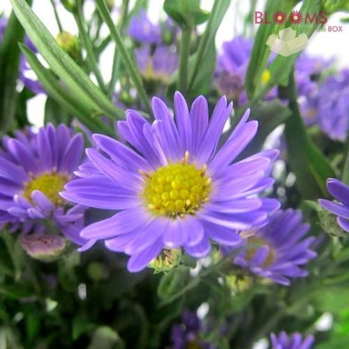 Wholesale Monte Casino Aster Purple Blooms By The Box Aster Flower Purple Flowers Rose Floral Crowns