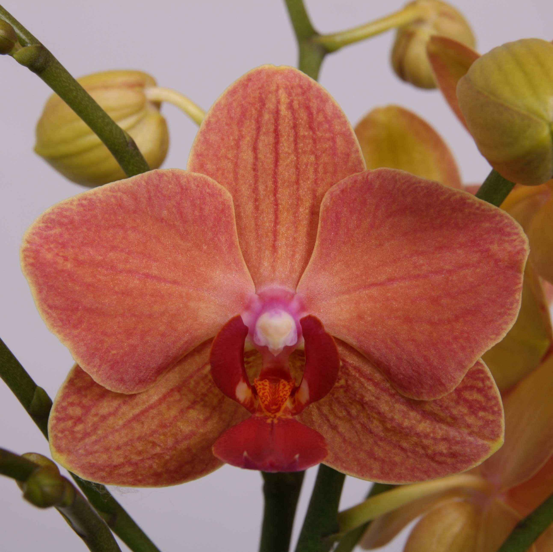 орхидеи голд раш фото рябчик оказался