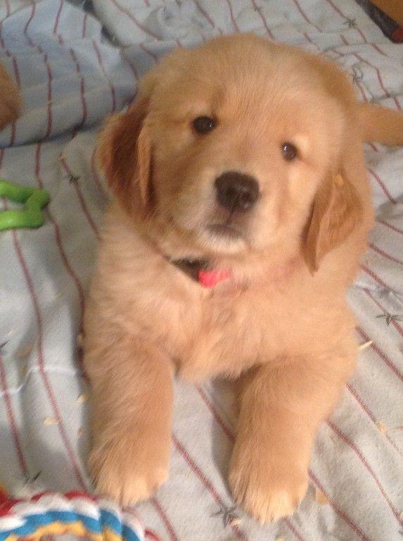 Golden Retriever Puppies For Sale Puppies For Sale Retriever