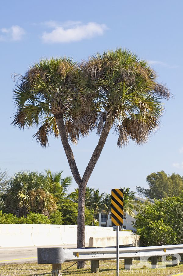 Double Headed Cabbage Palm of Cape Coral Florida State Tree Blog