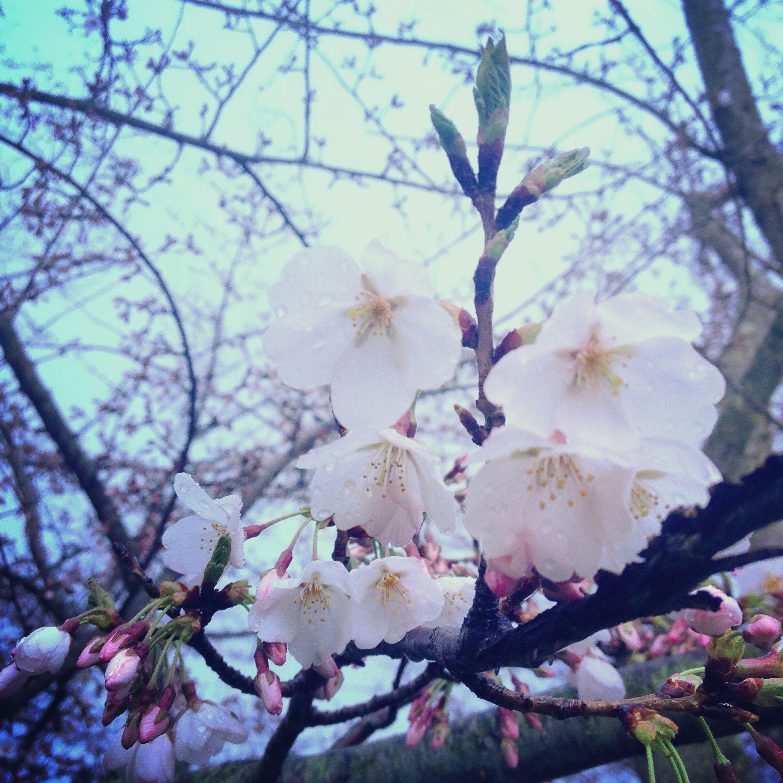 Ohio University S Sister College Chubu University Has Gifted Ou A Total Of 200 Sakura Cherry Trees See Them Ohio University Ohio University Athens University