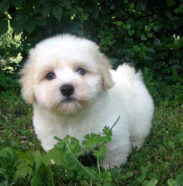Coton De Tulear The Official Dog Of