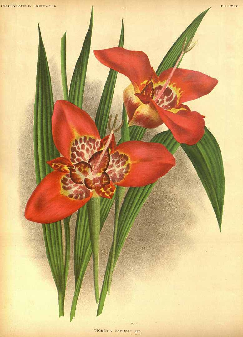 Tigridia pavonia - circa 1891