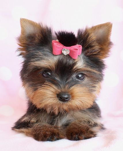 Yorkie Puppies For Sale South Florida Yorkie Puppy Yorkie Puppy For Sale Yorkie