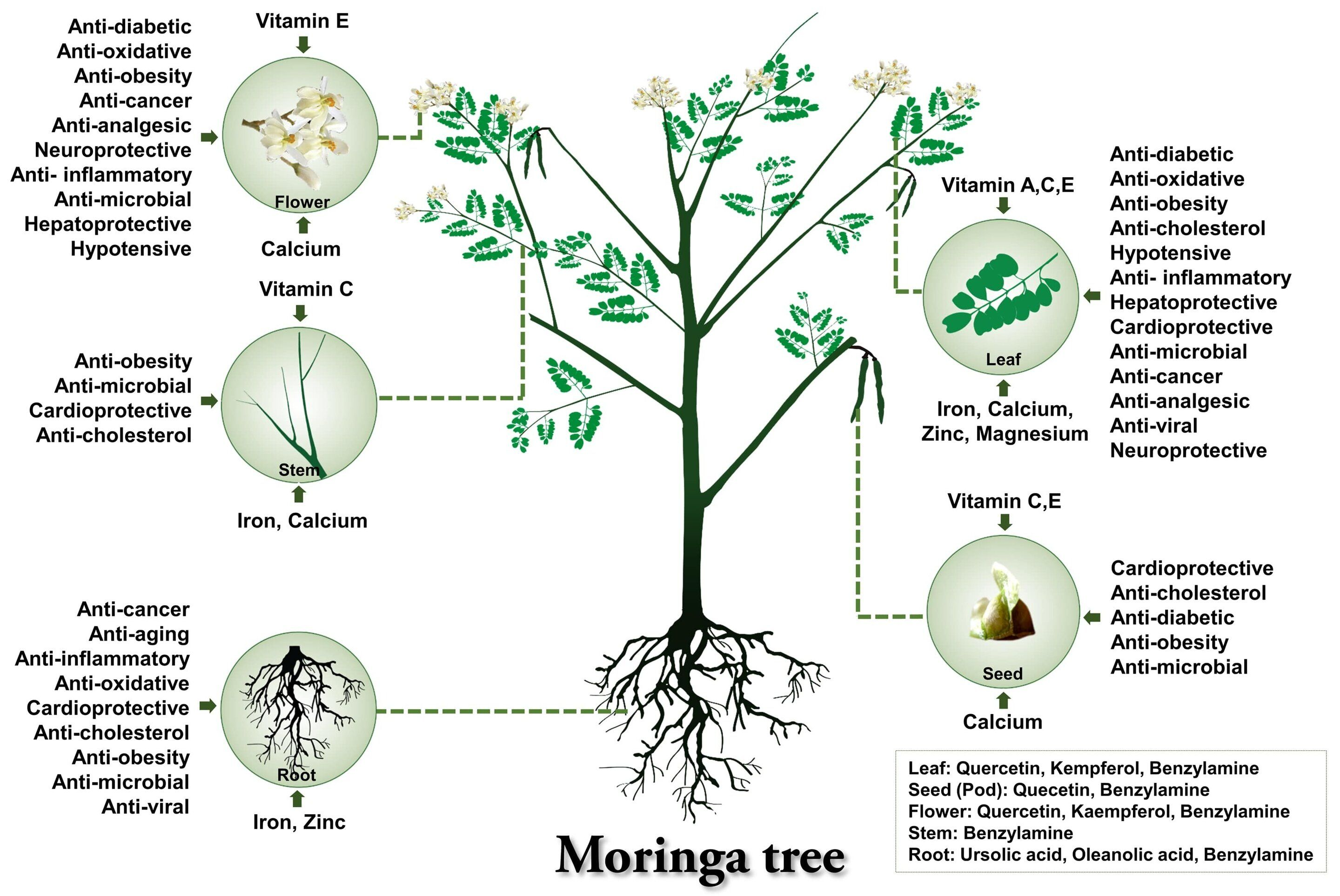 The Moringa Drumstick Tree Has Medicinal Value And Is A Rich Source Of Nutrients And Minerals Traditionally Its Parts Anti Obesity Moringa Moringa Oleifera