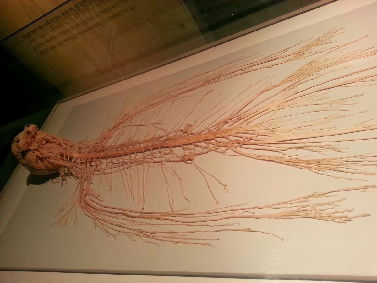 Human nervous system on display - photo#36