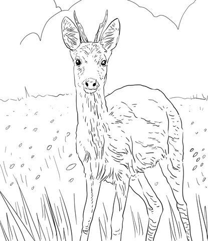 European Roe Deer Coloring page | Desenhos para Piro. | Pinterest ...