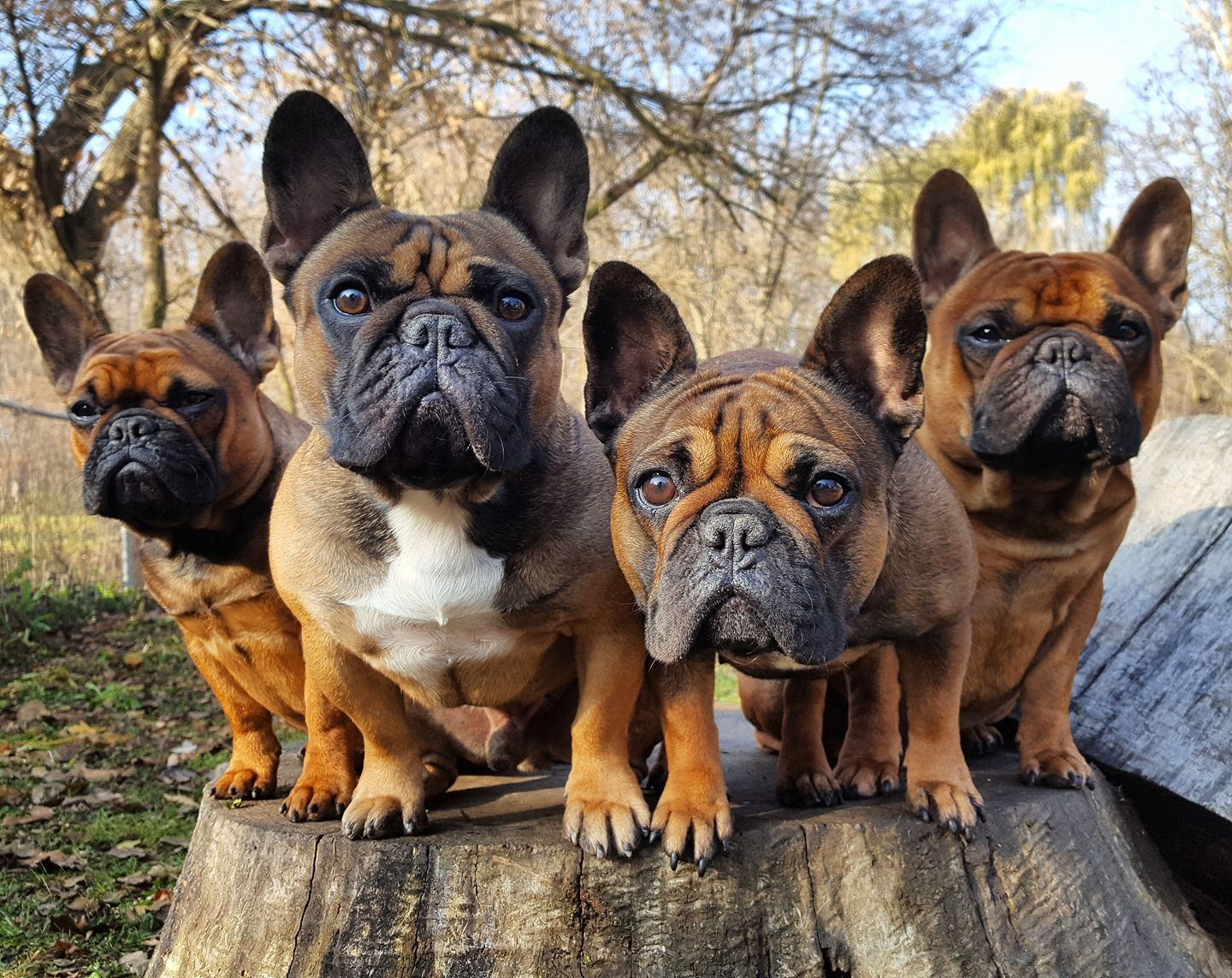 French Bulldogs Dog Breeds Cute Dogs Dogs