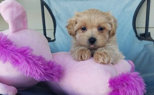 Maltipoo puppy for sale in LOS ANGELES, CA. ADN63677 on
