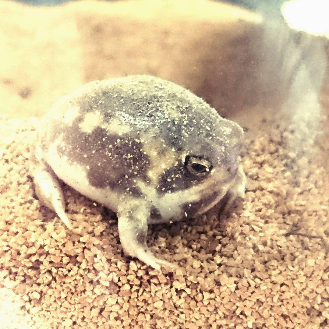 Shu Fujisawaさんはinstagramを利用しています Cute Love Frog Rainfrog Reptile Reptiles かえる カエル アメフクラガエル 可愛すぎる動物 かわいいカエル カエル画像まとめ