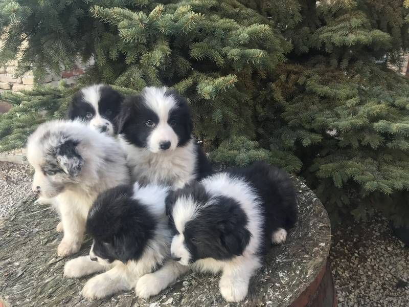 45 Border Collie Australian Shepherd Husky Mix In 2020