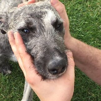 Free to a good home (whippet/stag) | Dogs & Puppies | Gumtree