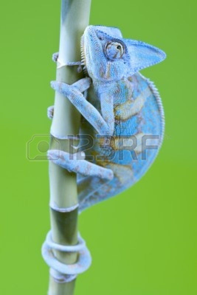 Beautiful Big Chameleon Sitting On A Flower Stock Photo, Picture ...