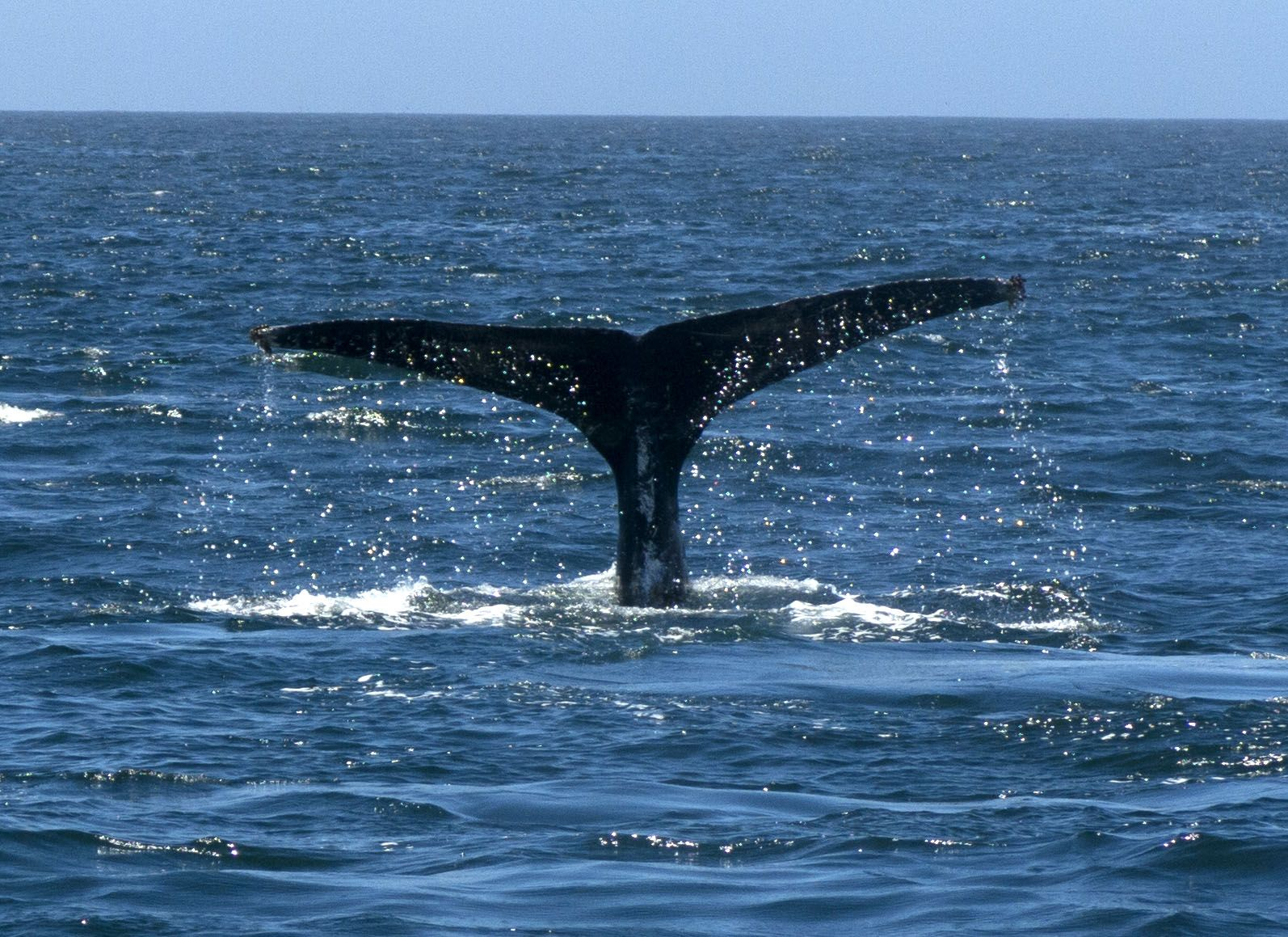 A Humpback Whale Fluke is unique and used to identify the animal. #whale #underwater http://travelswithtam.com/entanglements-end-happily/