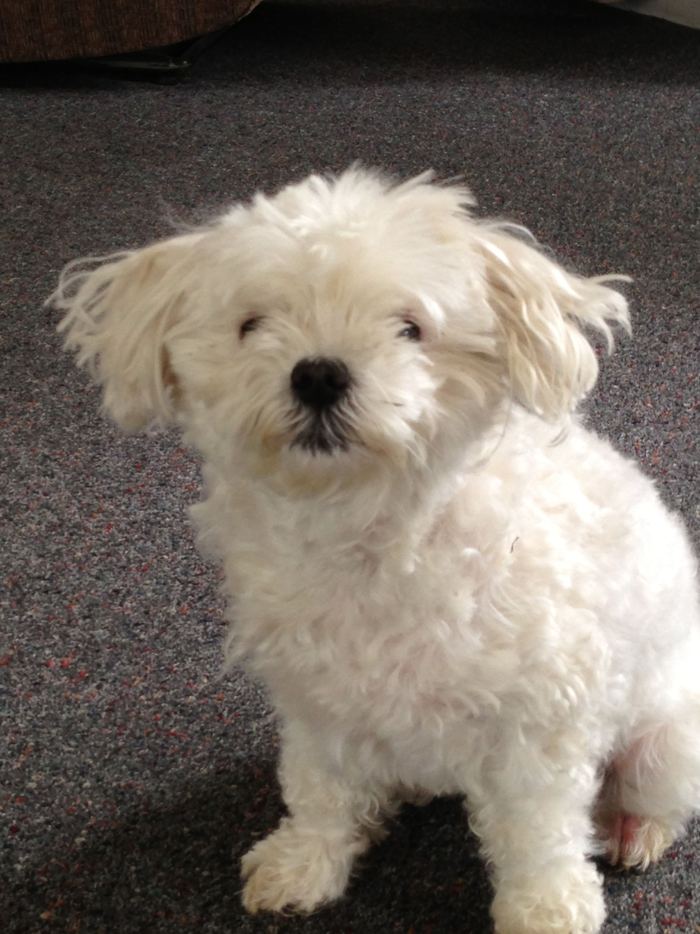 Your New Best Friend Is Waiting For You At Oakgrove Maltese Get
