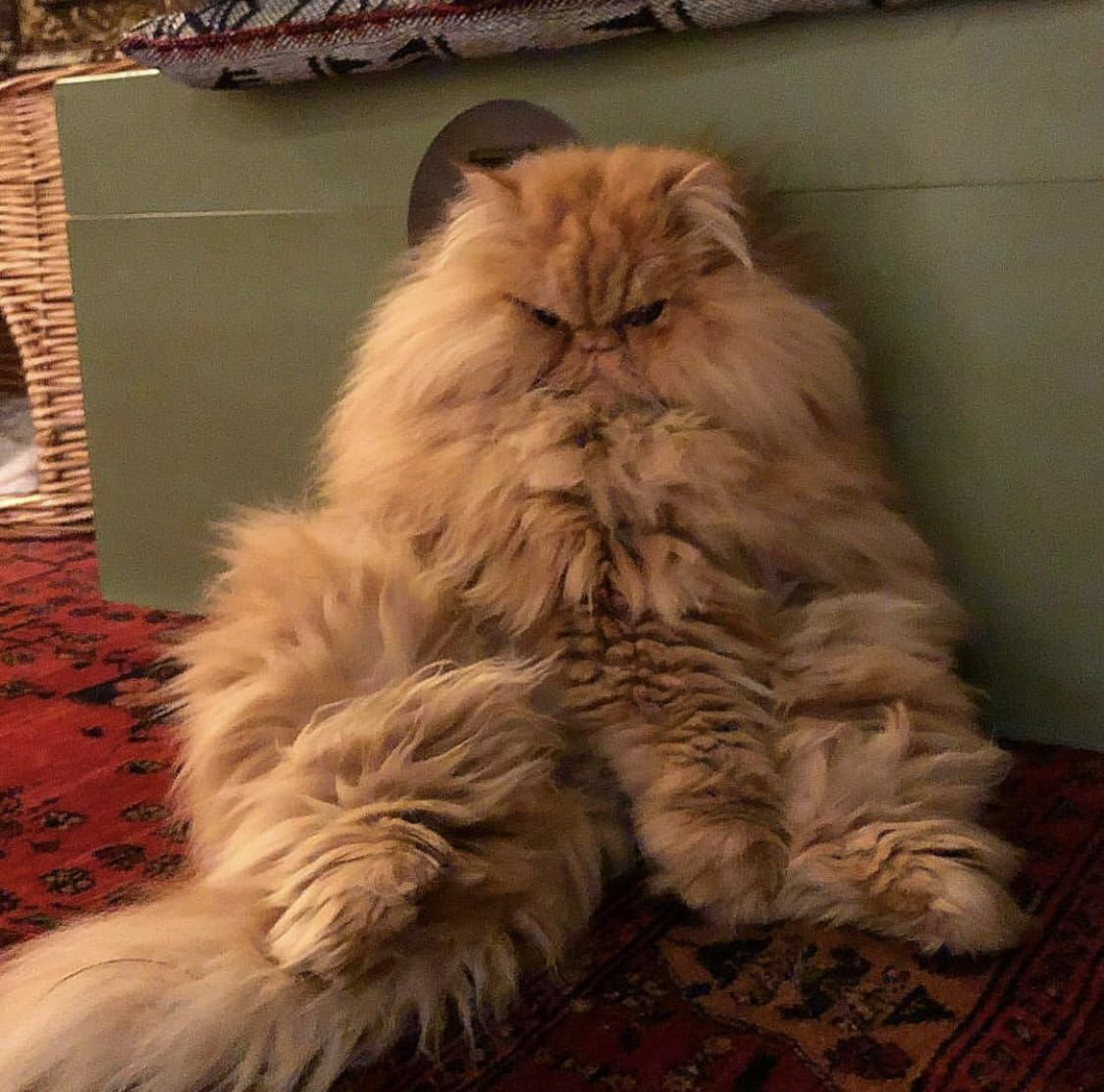 Look What You Have Done Human Now I Won T Even Move A Little Persian Cat Orange Persian Cat Cats