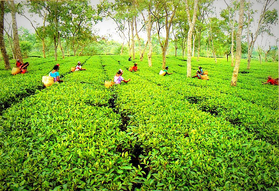 Assam Tea Garden India By Incredible Indian Places To Visit