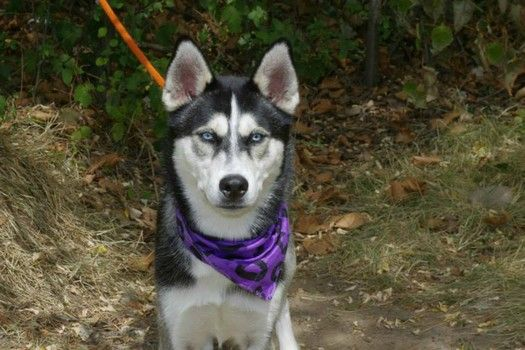 Piercing Blue Eyes Of Siberian Husky Beg For Rescue From Busy Nyc