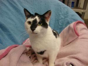 Adopt Jamie On Petfinder Cats White Cats Short Hair Black