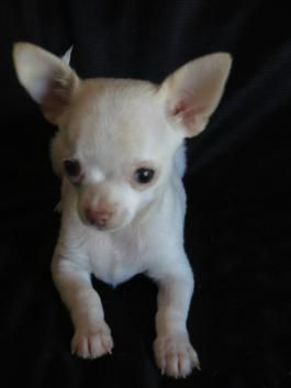 Chihuahua Puppies For Sale Chihuahua Puppies Puppies Lancaster