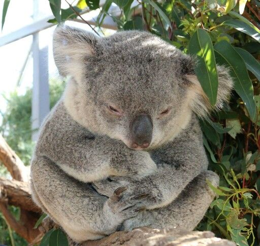 I Find It So Cruel That Other Countries Have Koalas In Zoos They