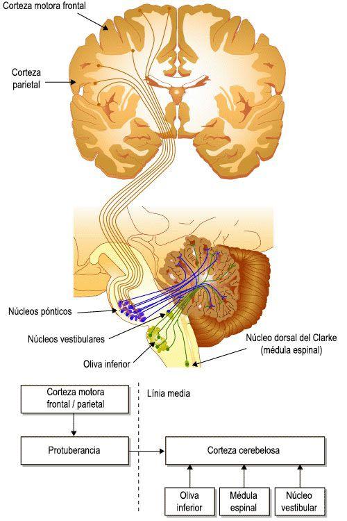 El cerebelo: organización y función | Psicología | Pinterest ...